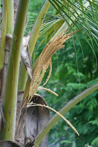 640px-Coconut_Palm_flowers