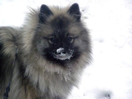 Кеесхонд - самая игривая и ласковая собака