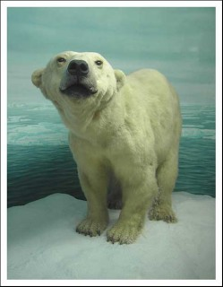 Ich möchte ein Eisbär sein ..