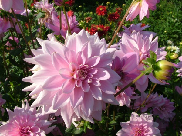 Dahlia-decorative-tender-pink-flowers