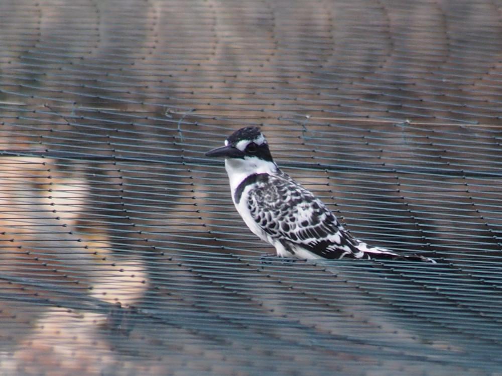 kingfisher36