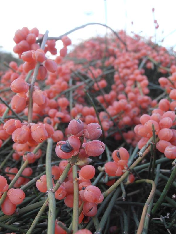 Ephedra aphylla_small
