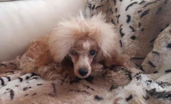 Маленький пёсик Кешью Мой Нежный Ангел на диване