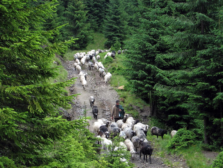 Вівці після обіду йдуть пастися