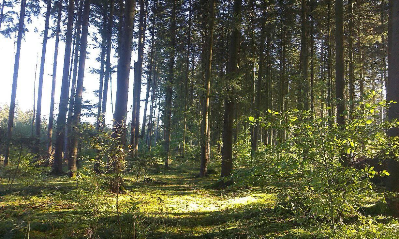 Гарний ялиновий ліс