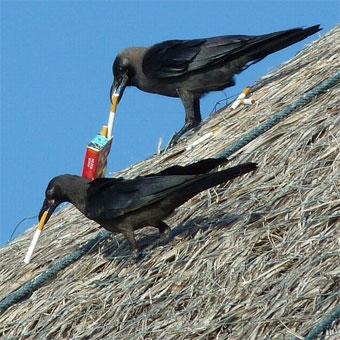 вороны-курят