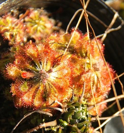 Insectivorous sundew, Pitcher Plant Farm
