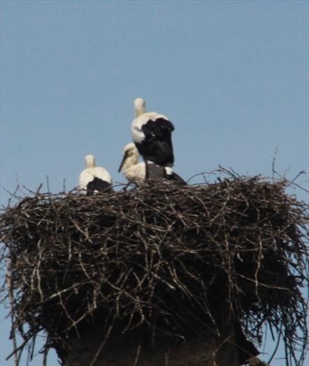 Nesting storks, tres European