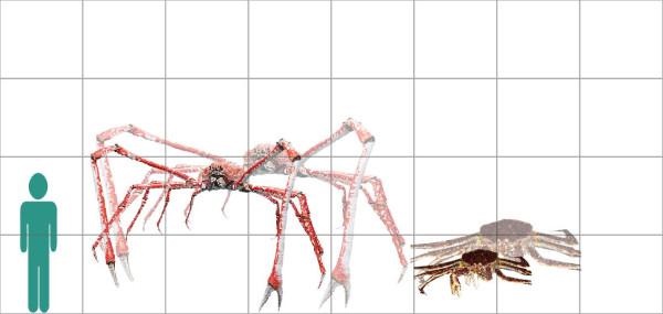 Spider Crab Size Japanese Spider...